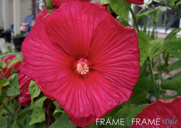 fbfs_hibiscus_1