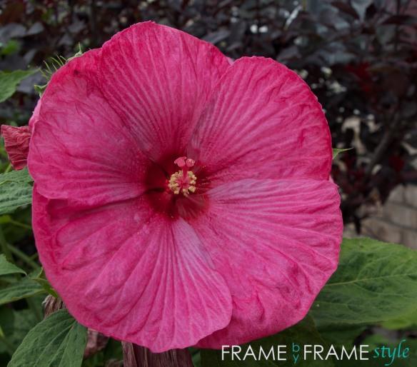 fbfs_hibiscus_2